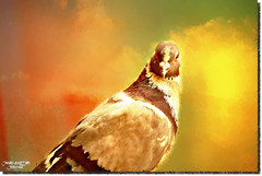 A VISITOR TO MY BALCONY-11 (jawadn_99) Tags: explore bird fauna birds fly yellow black art photography this amazing shot coco love intimate dove painting pegeon