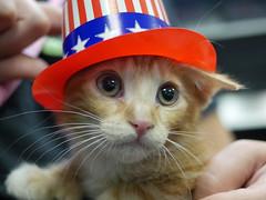 4th Kitten_03 (AbbyB.) Tags: pet hat animal cat newjersey kitten feline kitty fourthofjuly shelter july4th shelterpet petphotography easthanovernj mtpleasantanimalshelter