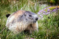 IMG_7313 - Murmeldyr / Marmots (Arne J Dahl) Tags: animal canon austria dof bokeh outdoor depthoffield marmots grossglockner strig grossglocknerhochalpenstrasse murmeldyr canon5dmarkll