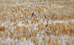 _land of milk and honey (SpitMcGee) Tags: germany sparrow spatzen wheatfield weizenfeld schlaraffenland landofmilkandhoney spitmcgee