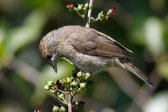 _F0A3745.jpg (Kico Lopez) Tags: birds rio spain aves galicia lugo mio sylviaatricapilla currucacapirotada