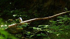 Eisvogel Libelle (Vogelfoto69) Tags: eisvogel prachtlibelle kingfisher alcedo atthis naturfoto naturfilm naturfilmer naturfotograph natur nature naturfreund naturdokumentation nrw naturschutz nabu andreaskalbow