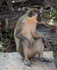 Gambia 9 (megegj)) Tags: monkey aap gert affe