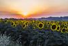 Sunflowers. (Ale_Car) Tags: tramonto sunflowers di provincia colori paesaggi marche ancona girasoli estare regionemarche paesaggidellemarche turismomarche marchetourism destinazionemarche