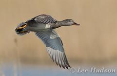 Gadwall (Lee Hudson photography) Tags: gadwall anasstrepera leehudson duck bird britishwildlife birdinflight wings