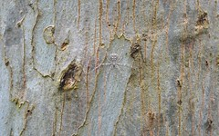 pale Tamopsis (dustaway) Tags: arachnida araneae araneomorphae hersiliidae tamopsis barkspiderforestredgum lismorerainforestbotanicgardens northernrivers nsw australia australianspiders eucalyptustereticornis bark spinne