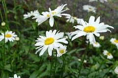 Shower among ladies (Goruna) Tags: flowers blumen marguerites margeriten raindrops garden whiteflower shower goruna