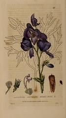 n33_w1150 (BioDivLibrary) Tags: floras flowers greatbritain medicinalplants plants newyorkbotanicalgardenluesthertmertzlibrary bhl:page=48855733 dc:identifier=httpbiodiversitylibraryorgpage48855733 aconitumnapellus monkshood
