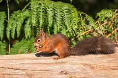 Lunch has been found! D75_5232.jpg (Mobile Lynn) Tags: nationaltrust rodents wild brownseaisland redsquirrel nature fauna mammal mammals rodentia wildlife purbeckdistrict england unitedkingdom gb coth specanimal coth5 ngc npc
