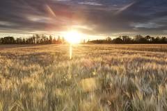 Sunrise over the Barley (John Andersen (JPAndersen images)) Tags: aspens barley bonaccord clouds farm fence flare grass leaves pasture prairie sky sunrise