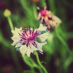 Spring Flora II (Jon-Fū, the写真machine) Tags: outdoors 野外 nature 自然 plants 植物 flower flowers 花 華 plant flora jonfu 2016 olympus omd em5markii em5ii em5mkii em5mk2 em5mark2 オリンパス mirrorless mirrorlesscamera microfourthirds micro43 m43 mft μft マイクロフォーサーズ ミラーレスカメラ ミラーレス一眼カメラ ミラーレス機 ミラーレス一眼 snapseed japan 日本 nihon nippon ジャパン ジパング japón जापान japão xapón asia アジア asian fareast orient oriental aichi 愛知 愛知県 chubu chuubu 中部 中部地方 nagoya 名古屋