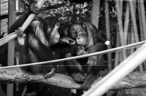 Orangutan @ Toronto Zoo