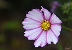 Thursday`s Flower (Eleanor (No multiple invites please)) Tags: cosmos pinkflower busheyrosegarden bushey uk nikond7200 september2016