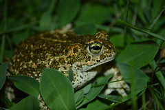 Toad (Leela Channer) Tags: brown green nature grass leaves animal night eyes flash cream amphibian ground toad creature