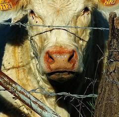 Tte de veau pas encore vinaigrette (domiloui) Tags: portrait france animals animaux lorraine campagne documentaire lothringen cooliris abaucourt blinkagain