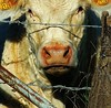 Tête de veau pas encore vinaigrette (domiloui) Tags: portrait france animals animaux lorraine campagne documentaire lothringen cooliris abaucourt blinkagain