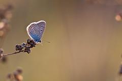 IMG_7068 (adrien.pcctt) Tags: papillon insecte argusbleu