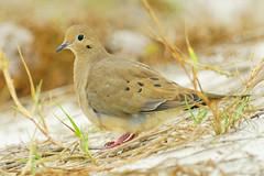 Morning dove (on the ground) (RKop) Tags: caladesiislandstatepark florida 704000gssmsony handheld a77mk2 raphaelkopanphotography 70400gssmsony sony