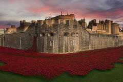 Poppies Tower Of London (Airpower Art) Tags: city uk red london tower ceramic poppy poppies toweroflondon armisticeday poppys paulcummins thebloodsweptlandsandseasofredexhibition