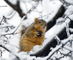 sustenance (paulh192) Tags: winter food snow tree nikon squirrel michigan
