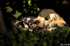 Elevage of Wings of an Angel (Aline Caid - Aline Passion Photo) Tags: labrador chiots