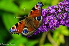 Peacock Butterfly. (berenice29) Tags: flower garden billingham peacockbutterfly nikond7000
