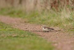 Follow the Path (1963chris) Tags: autumn bird fall nature grass birds rural countryside nikon raw path wildlife yorkshire sigma telephoto britishwildlife avian snowbunting britishbirds migratorybirds staidans d5100