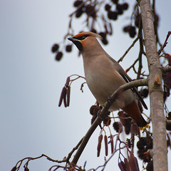 Waxwing (ToriAndrewsPhotography) Tags: uk bird wildlife scandinavia waxwing