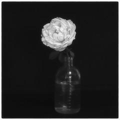 A ROSE #1 (Masahiko Kuroki (a.k.a miyabean)) Tags: bw square noiretblanc explore バラ mchelios44m4258 fujixe1