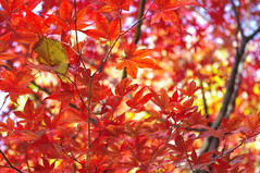 """So bright, autumn leaves • <a style=""""font-size:0.8em;"""" href=""""https://www.flickr.com/photos/126180376@N05/15678926729/"""" target=""""_blank"""">View on Flickr</a>"""
