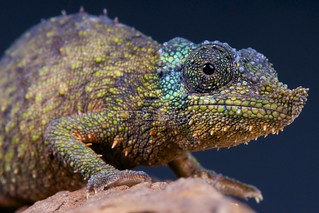 Rosette-nosed chameleon / Rhampholeon spinosus