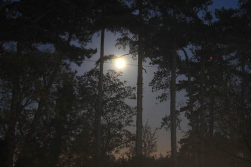 Moon through the pine trees, From FlickrPhotos