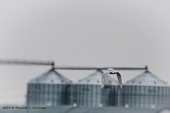 Snowy Owl_8836-Edit-2.jpg (MikeJG64) Tags: ontario canada fall nature birds animals seasons owl snowyowl