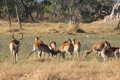 Lechwes - spring fight (www.JnyAroundTheWorld.com - Pictures & Travels) Tags: africa nature animal animals fauna landscape wildlife safari botswana animaux moremi lechwe gamedrive faune moremigamereserve jny kwhai