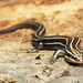 Common Five-lined Skink, Female