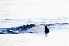 Transient Orca T036B (wanderinggrrl) Tags: year2 week32 picofweek year2top100prelim year2top50