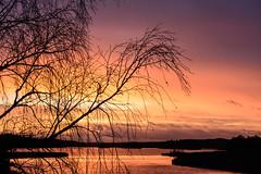 Warm light, cold morning (jarnasen) Tags: morning trees sky sun sunlight lake nature water clouds sunrise dawn nikon warm december sweden outdoor branches tripod nopeople nordic birch sverige colourful scandinavia linkping sj sturefors sigma50150mmf28 earlymorningphotos d7100 rlngen jarnasen jrnsen