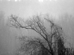 trees in a flurry (1) (Ange 29) Tags: trees bw snow canada king olympus om zuiko township omd f63 em1 400mm