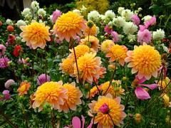 Dahlia (yewchan) Tags: dahlia flowers flower nature colors beautiful beauty closeup garden flora colours gardening vibrant blossoms blooms lovely dahlias