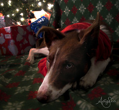 Border Collie Puppy - Waiting for Santa (Galactic Dreams) Tags: santa christmas red dog tree night fire lights collie warm spirit sleep christmaslights patient gifts toasty blanket surprise browndog present wait santaclause cutedog bordercollie cutepuppy electriclights brownandwhitedog cutedogsleeping cutepuppysleeping colliesleeping