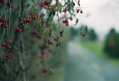 Roadside Cherries (Armin Schuhmann) Tags: road red wild canada color film nature analog 35mm vintage lens cherry 50mm prime bush cherries nikon focus dof quebec kodak bokeh path montreal f14 s ishootfilm scan negative filter hanging mf pelicula normal analogue manual filme roadside nikkor ultraviolet 50mmf14 400asa argentique filmscan nikomat nikkormat l39 analogic 2014 selfdeveloped c41 filmphotography ft2 ultramax shootfilm filmphoto filmisnotdead  tetenal analogo 50mmf14s ultramax400 tetenalc41 kodakultramax400 longlivefilm believeinfilm buyfilmnotmegapixels 50mmnikkorf14s nikonl39ultraviolet