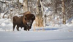 Plains Bison (Turk Images) Tags: winter alberta bovidae mammals elkislandnationalpark bisonbison plainsbison
