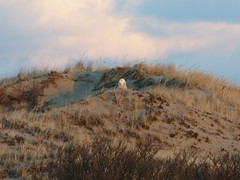 LAST RAPTOR OF 2014! snowy owl (quadceratops) Tags: nature river island snowy wildlife massachusetts plum national owl parker refuge 14hawks8owls