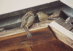 birds in love (sunshine lydia) Tags: wood morning roof love home birds loving freedom colours peace nest peaceful lovers sight sparrows warmingup inlove feelings feathering