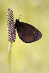 Rundaugen-Mohrenfalter (Erebia medusa)_Q22A3398-BF (2) (Bluesfreak) Tags: butterflies insekten schmetterlinge unterfranken mainfranken tagfalter woodlandringlet erebiamedusa