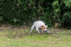 Parson Russell Terrier Female Dog Running (kalypsoworldphotography) Tags: portrait dog sun playing public closeup female forest training ball pose fun outdoors freedom athletic jumping movement dynamic action outdoor expression air contest meadow adorable competition canine running run scene terrier shorthair tennisball excitement staring quick powerful leap isolated jackrussellterrier sturdy clever active intensity pedigree determination hypnotized agile energetic parsonterrier