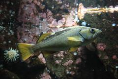 IMG_6082 (TMM Cotter) Tags: ocean fish aquarium bc centre discovery shaw sidney yellowtail rockfish sebastes flavidus