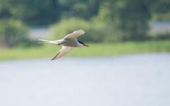 Arctic tern in flight (m2onen) Tags: arctictern sternaparadisaea inflight bif birding bird birds seabird birdinflight birdwatching sony a6300 55210mm sel55210 tcon17x teleextender nature lapintiira