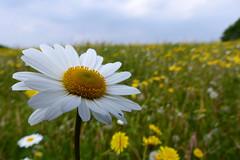 Limelight Hog (Michael Eickelmann) Tags: flowers wild plants nature up closeup close blossom stage natur pflanzen may wiese blumen mai hog limelight nahaufnahme blten wildblumen rampensau