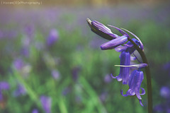 Opening Soon (| Voiceb[ ]x Photography |) Tags: flowers b wild detail green grass closeup forest woodland walking outside photography prime photo spring flickr dof open close purple westsussex bokeh walk sony low ground buds horsham bluebell 2016 ilce owlbeech 1650mm adamvoice ilce6000 sonya6000 voicebx